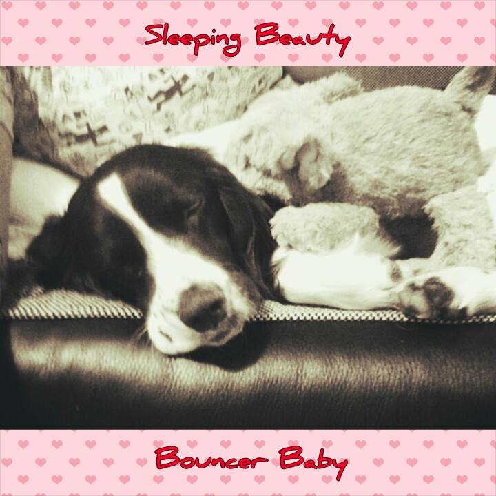 Sleepy Spaniel #1